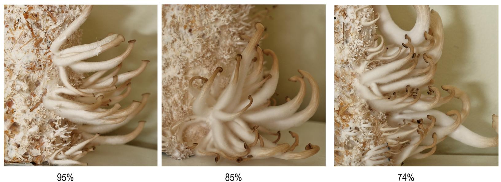 The effect of humidity on mushroom morphology