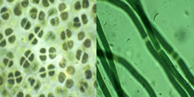 Microscopic images of some isolated cyanobacteria from extreme ecosystems