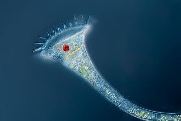 Stentor protozoans