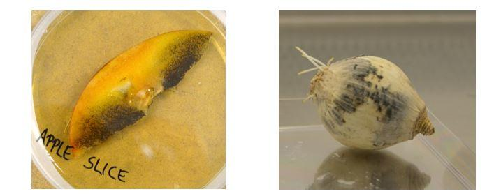 Figure 1: Growth of the fungal food spoilage organism Aspergillus niger on apple slices (left) and onions (right).