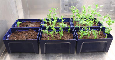 Three columns (two boxes in each) of pea seeds. Left: one small shoot shows.  Centre: several shoots show. Right: Several, slightly taller shoots show.