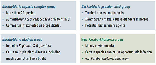 Example species and the properties of different groups of Burkholderia bacteria. The four groups of Burkholderia currently being studied by researchers and example species within them are shown.