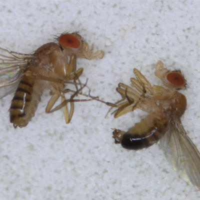 Drosophila melanogaster, the fruit flies.
